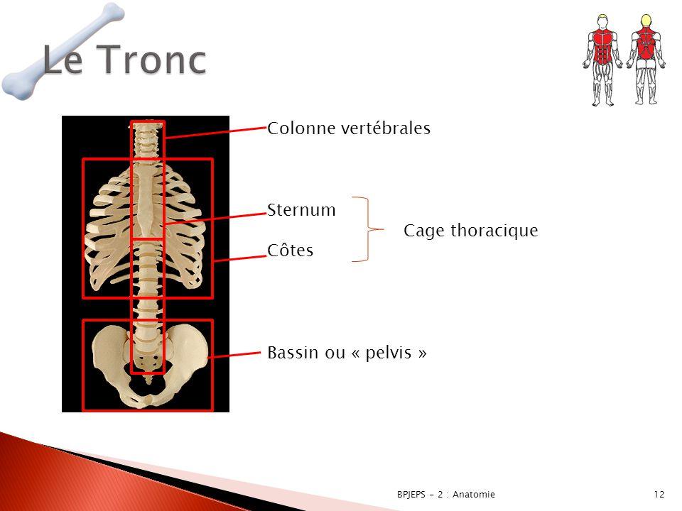 12BPJEPS - 2 : Anatomie Colonne vertébrales Sternum Cage thoracique Côtes Bassin ou « pelvis »
