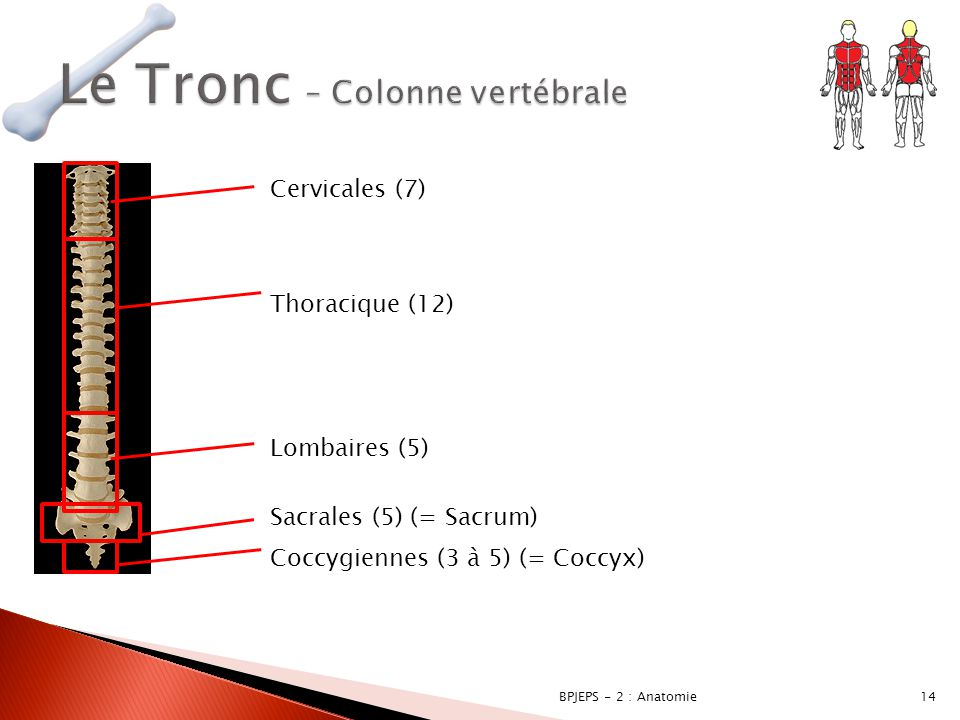 14BPJEPS - 2 : Anatomie Cervicales (7) Thoracique (12) Lombaires (5) Sacrales (5) (= Sacrum) Coccygiennes (3 à 5) (= Coccyx)