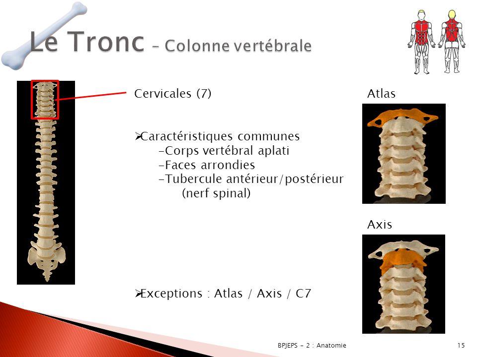 15BPJEPS - 2 : Anatomie Cervicales (7)  Caractéristiques communes -Corps vertébral aplati -Faces arrondies -Tubercule antérieur/postérieur (nerf spin