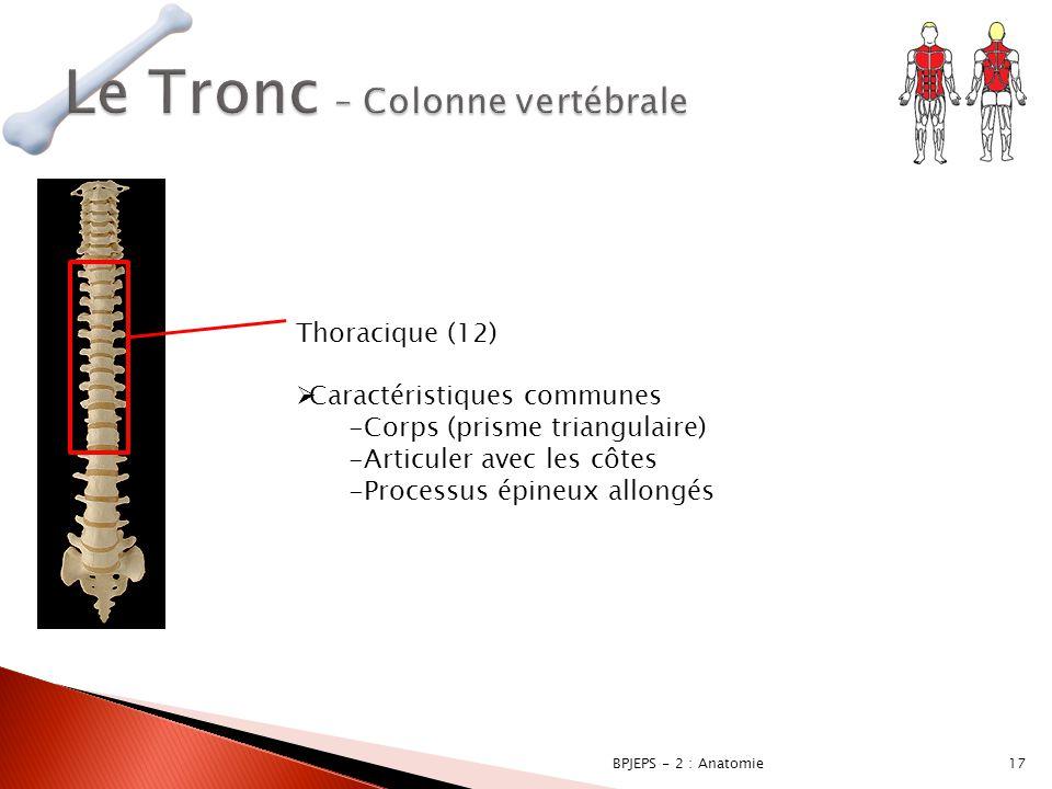 17BPJEPS - 2 : Anatomie Thoracique (12)  Caractéristiques communes -Corps (prisme triangulaire) -Articuler avec les côtes -Processus épineux allongés