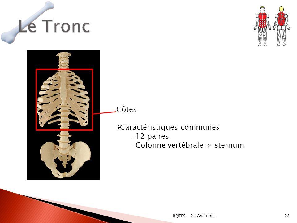 23BPJEPS - 2 : Anatomie Côtes  Caractéristiques communes -12 paires -Colonne vertébrale > sternum