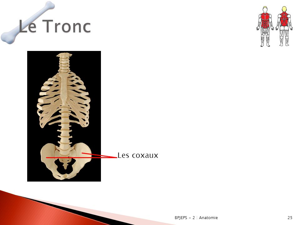25BPJEPS - 2 : Anatomie Les coxaux