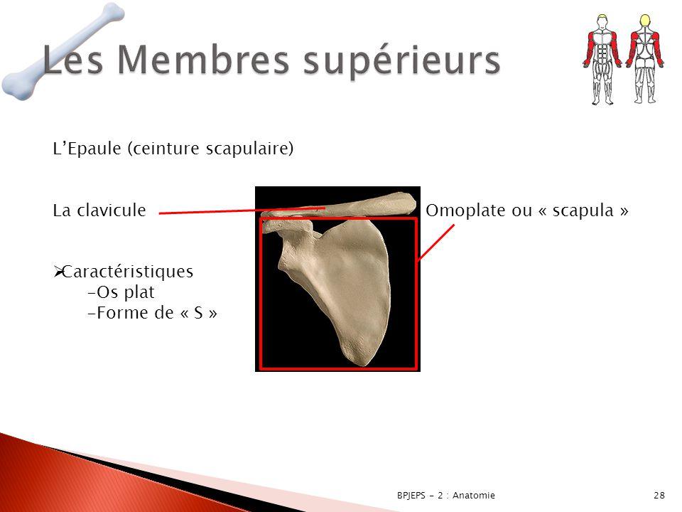 28BPJEPS - 2 : Anatomie L'Epaule (ceinture scapulaire) La clavicule  Caractéristiques -Os plat -Forme de « S » Omoplate ou « scapula »