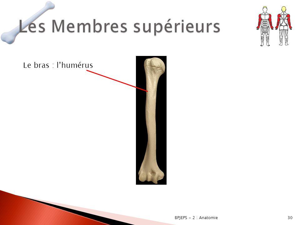 30BPJEPS - 2 : Anatomie Le bras : l'humérus