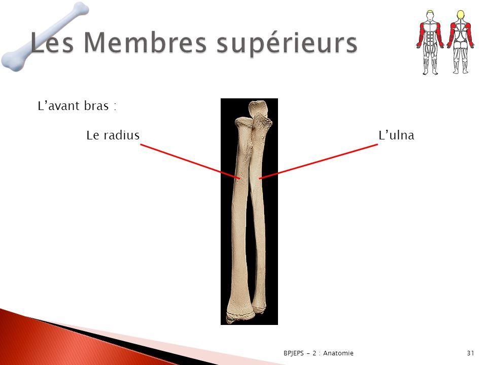 31BPJEPS - 2 : Anatomie L'avant bras : Le radius L'ulna