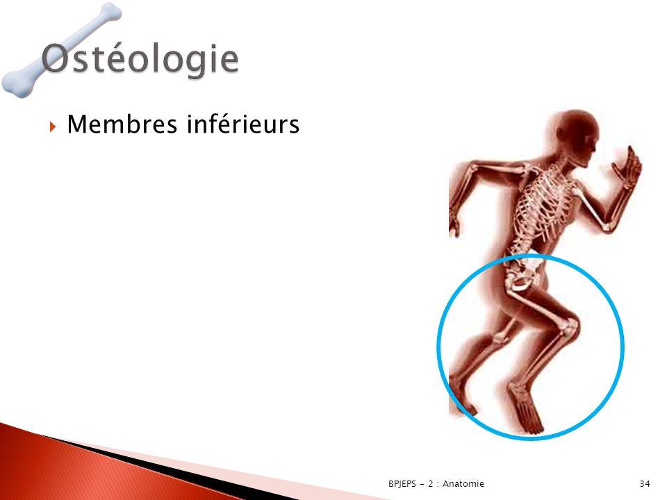  Membres inférieurs 34BPJEPS - 2 : Anatomie