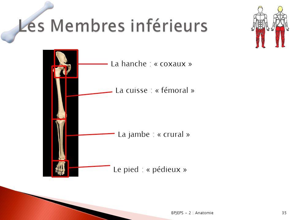 35BPJEPS - 2 : Anatomie La hanche : « coxaux » La cuisse : « fémoral » La jambe : « crural » Le pied : « pédieux »