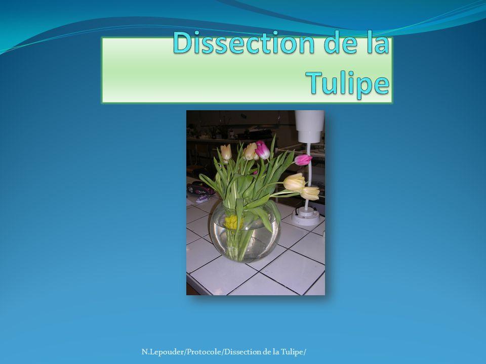 3.Pistil N.Lepouder/Protocole/Dissection de la Tulipe/ Observer la coupe de pistil, à la loupe binoculaire.