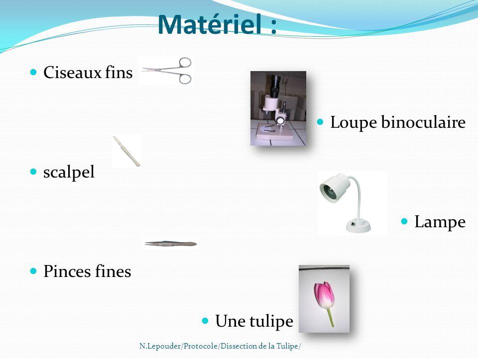 Matériel : Ciseaux fins Loupe binoculaire scalpel Lampe Pinces fines Une tulipe N.Lepouder/Protocole/Dissection de la Tulipe/