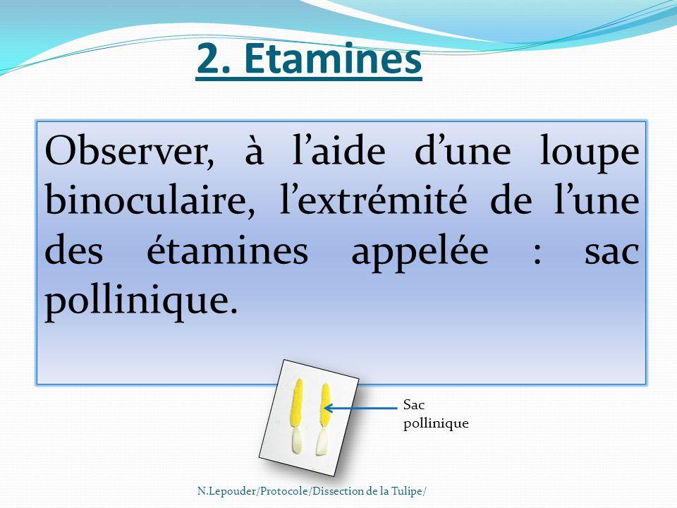 2. Etamines N.Lepouder/Protocole/Dissection de la Tulipe/ Observer, à l'aide d'une loupe binoculaire, l'extrémité de l'une des étamines appelée : sac