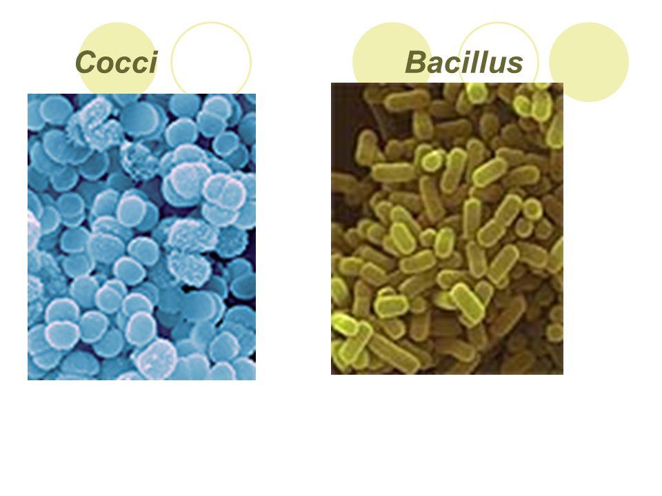 Cocci Bacillus