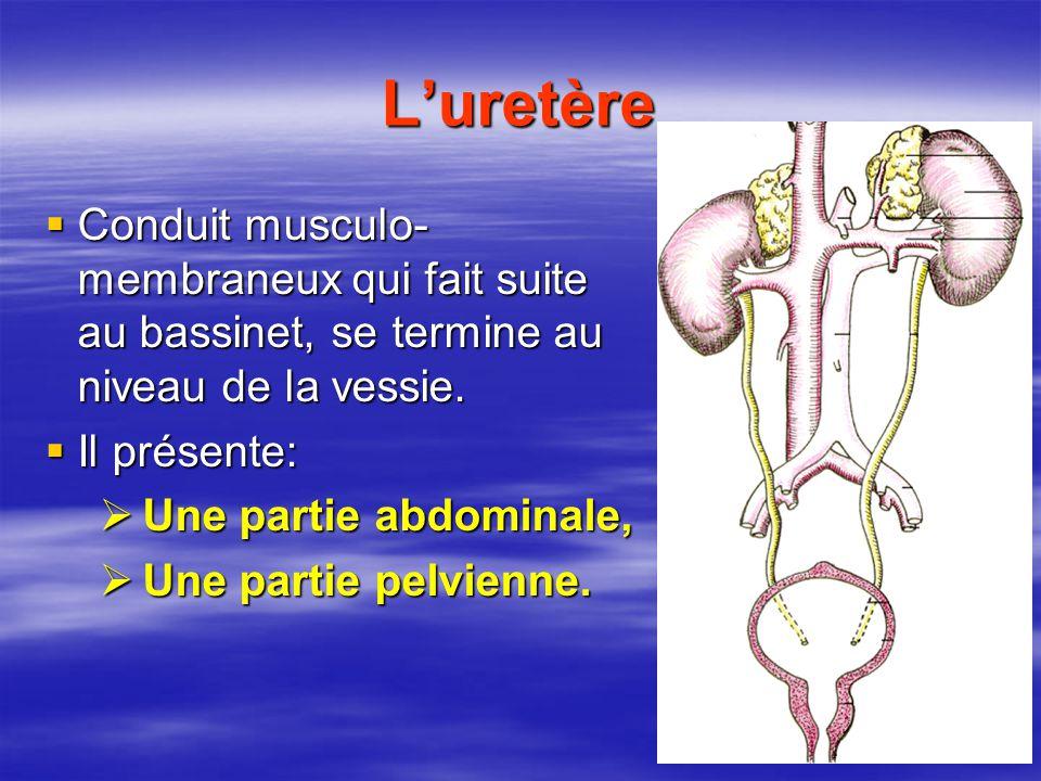 L'uretère  Conduit musculo- membraneux qui fait suite au bassinet, se termine au niveau de la vessie.