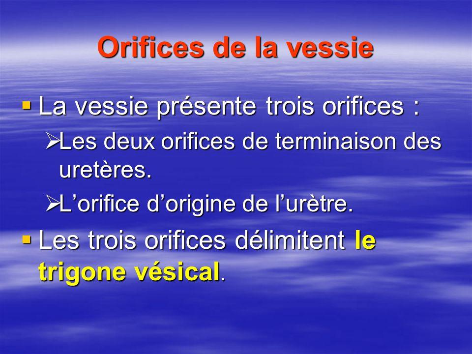 Orifices de la vessie  La vessie présente trois orifices :  Les deux orifices de terminaison des uretères.