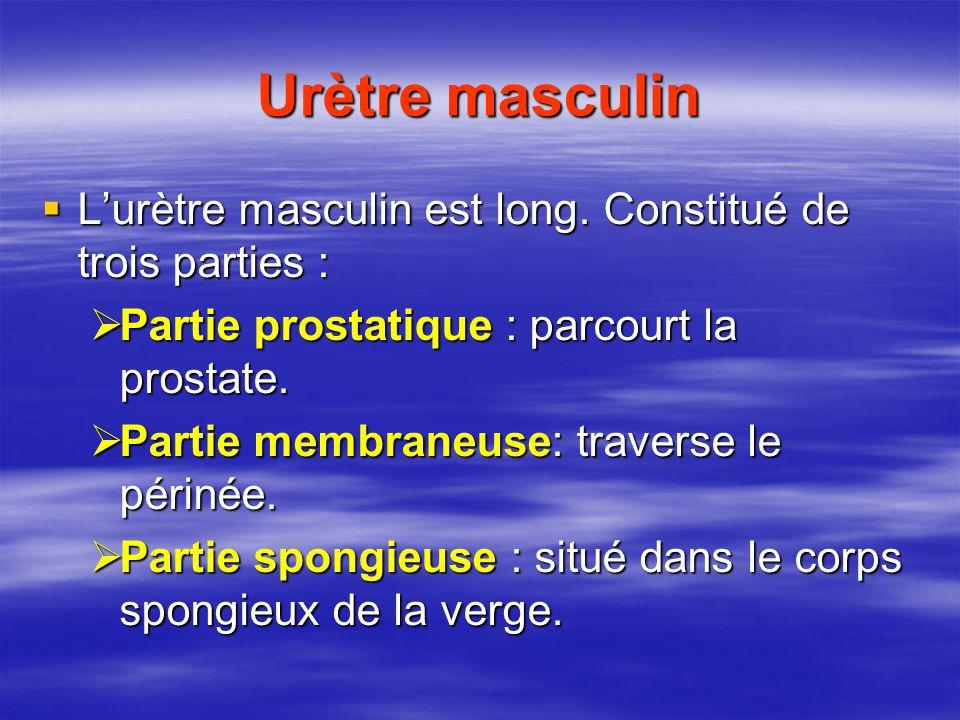 Urètre masculin  L'urètre masculin est long.