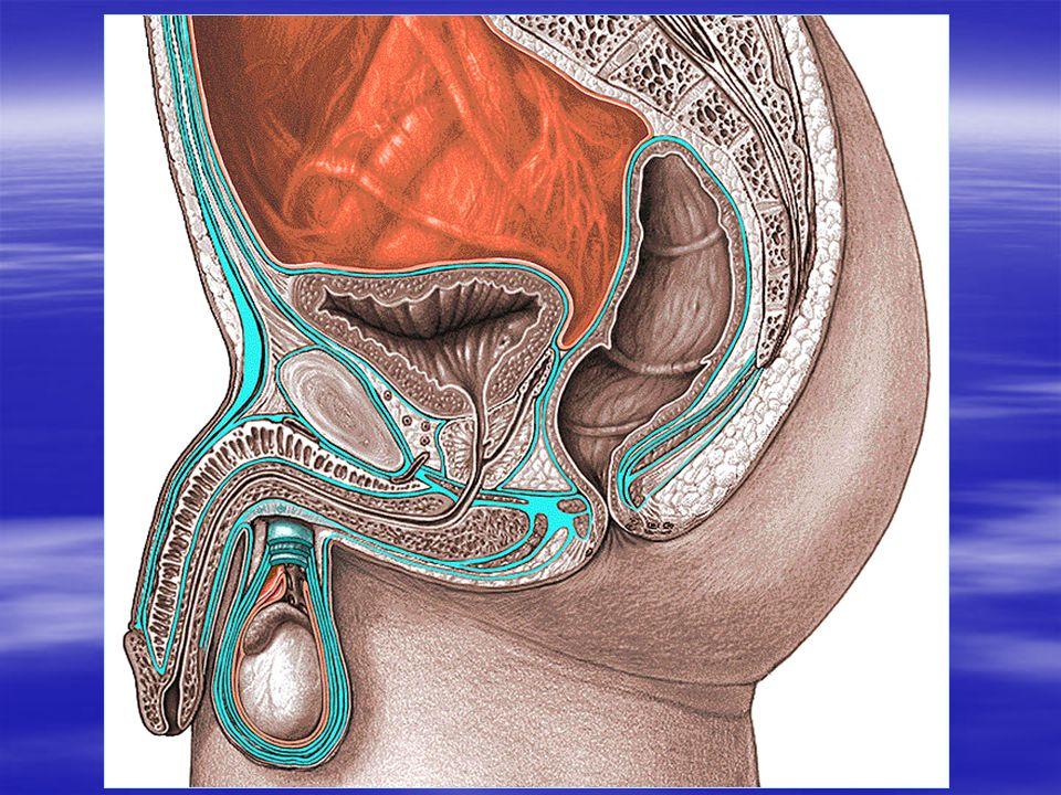 Urètre féminin  L'urètre féminin est très court, traverse le périnée entouré de sphincter urétral.