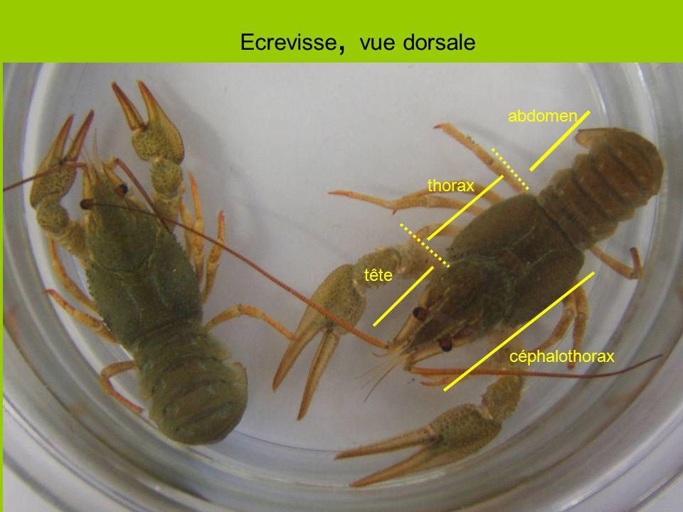 Ecrevisse, vue dorsale tête thorax abdomen céphalothorax