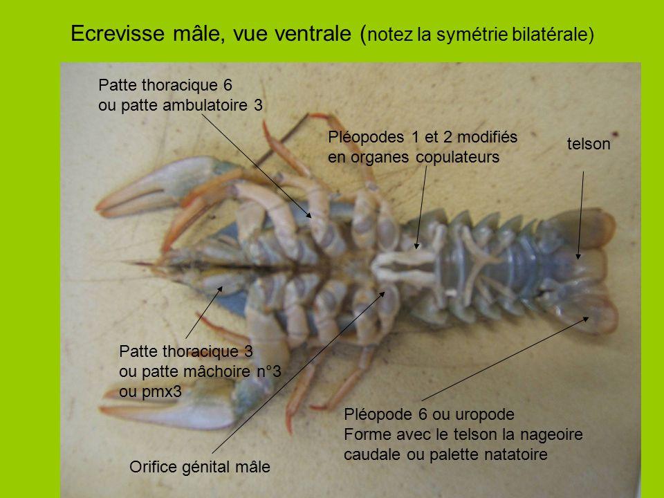 Ecrevisse mâle, vue ventrale ( notez la symétrie bilatérale) Pléopodes 1 et 2 modifiés en organes copulateurs Pléopode 6 ou uropode Forme avec le tels