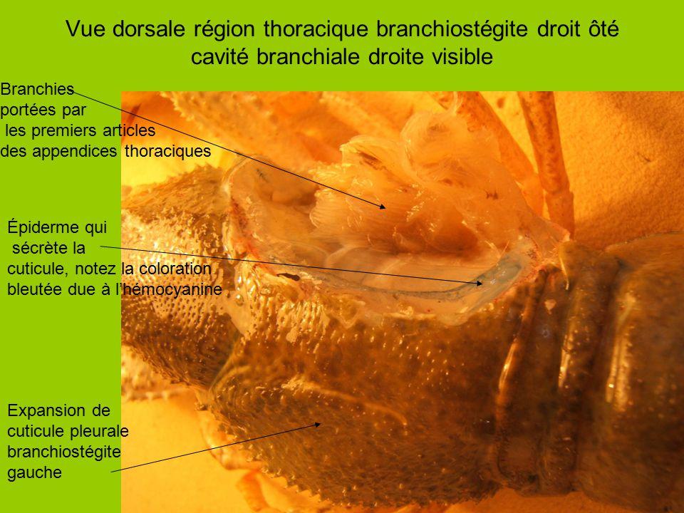 Vue dorsale région thoracique branchiostégite droit ôté cavité branchiale droite visible Expansion de cuticule pleurale branchiostégite gauche Branchi