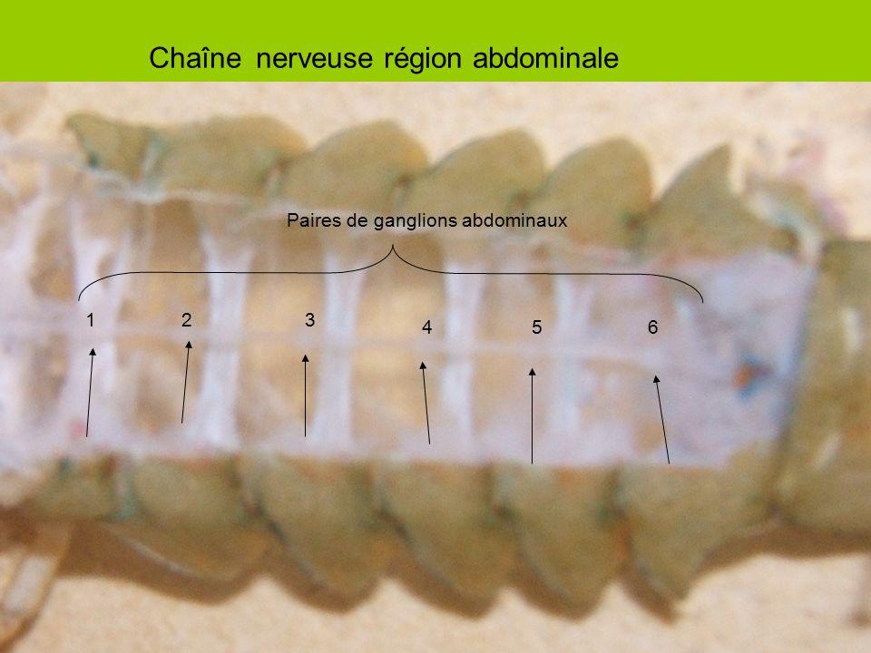 Chaîne nerveuse région abdominale Paires de ganglions abdominaux 123 456