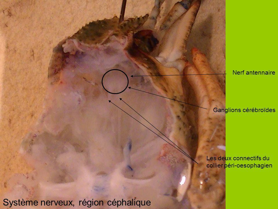 Nerf antennaire Les deux connectifs du collier péri-oesophagien Ganglions cérébroïdes Système nerveux, région céphalique