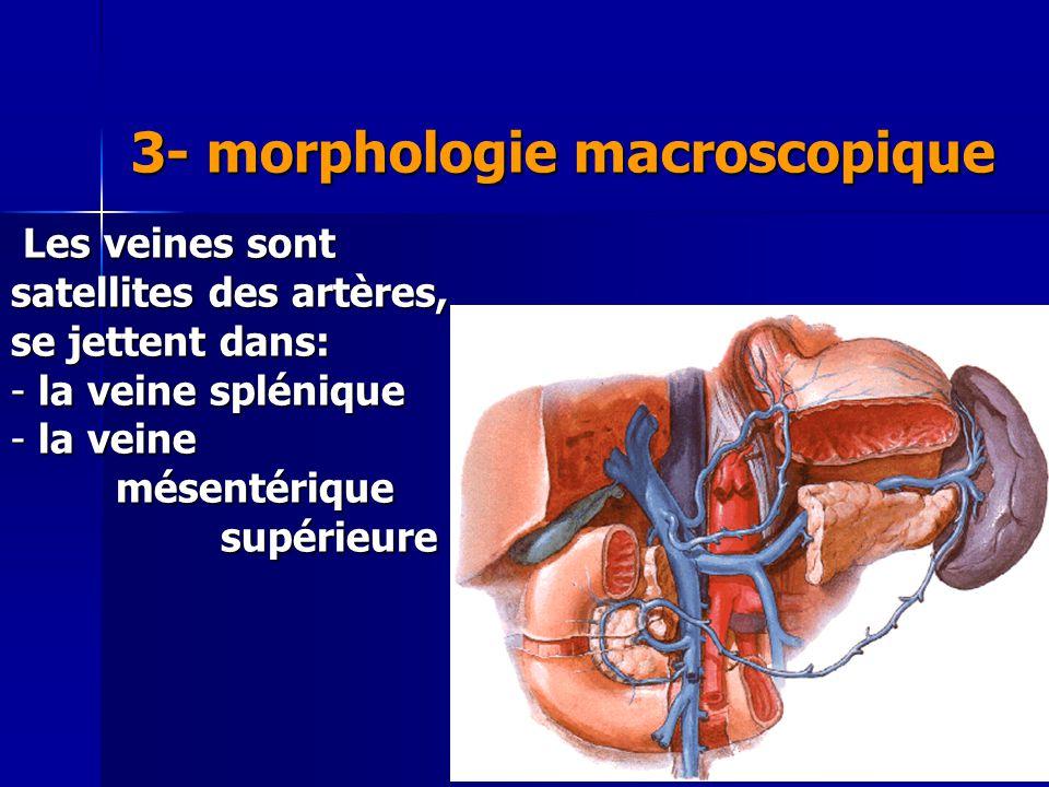Cours IFSI 2003 3- morphologie macroscopique Les veines sont satellites des artères, se jettent dans: Les veines sont satellites des artères, se jette