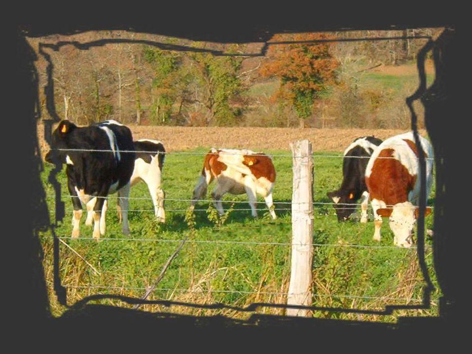 Et bientôt je voyais déboucher de chaque rue des troupeaux de vaches.