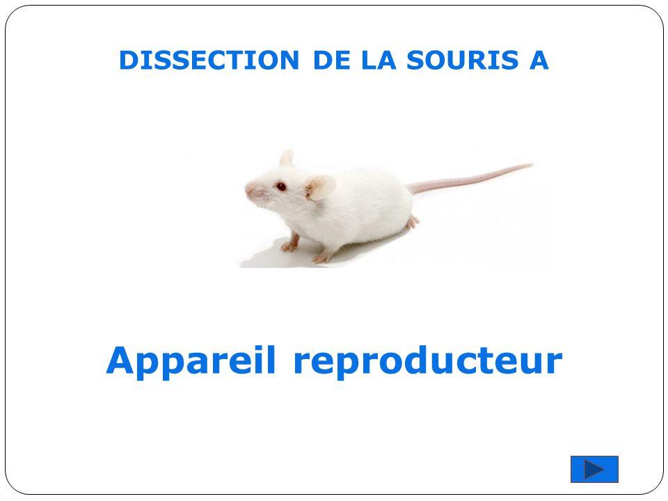 DISSECTION DE LA SOURIS A Appareil reproducteur