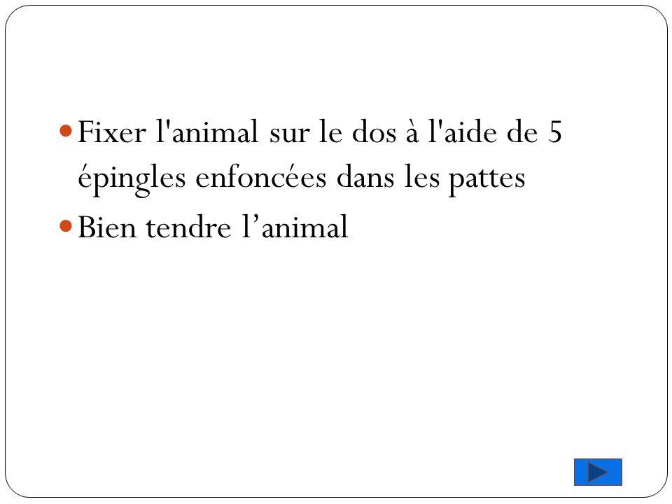 Fixer l'animal sur le dos à l'aide de 5 épingles enfoncées dans les pattes Bien tendre l'animal