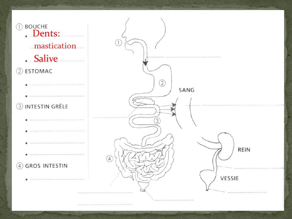 Dents: mastication Salive Œsophage
