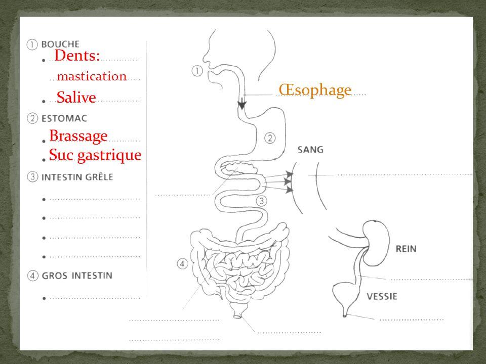 Dents: mastication Salive Œsophage Brassage Suc gastrique