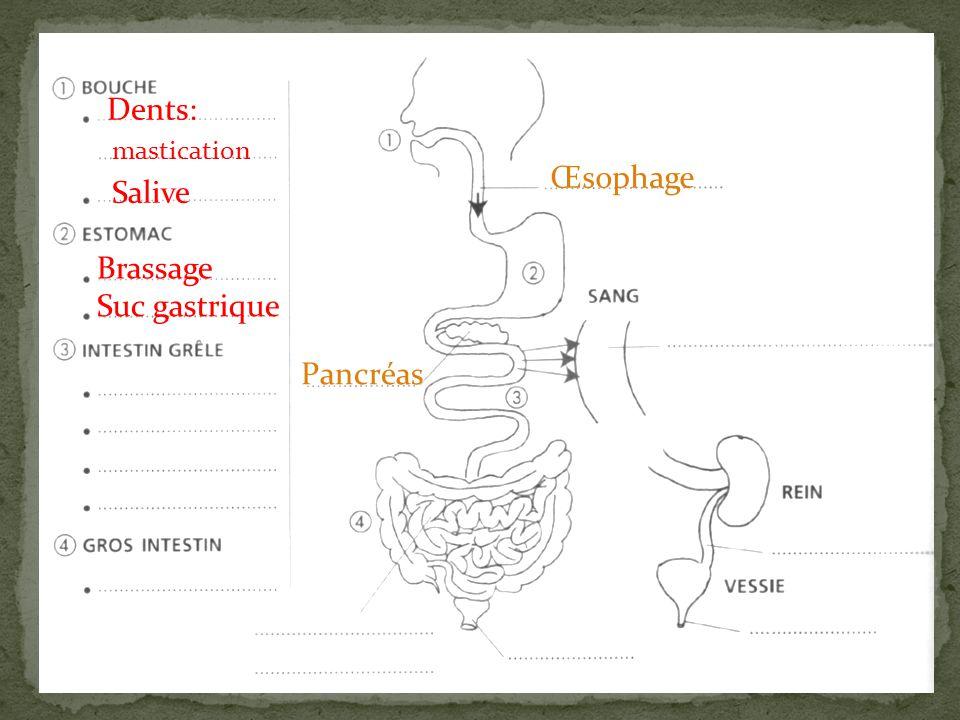 Dents: mastication Salive Œsophage Pancréas Eau Nutriments Brassage Suc gastrique