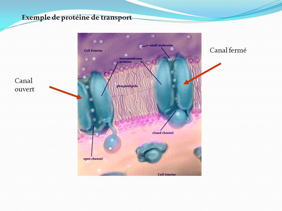 Exemple de protéine de transport Canal ouvert Canal fermé