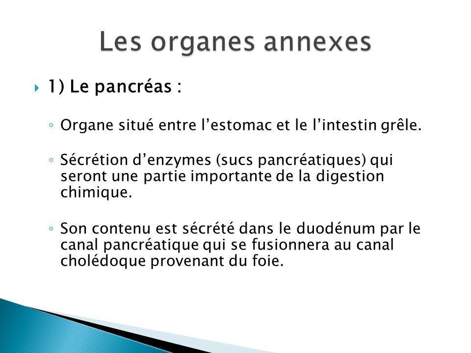  1) Le pancréas : ◦ Organe situé entre l'estomac et le l'intestin grêle.