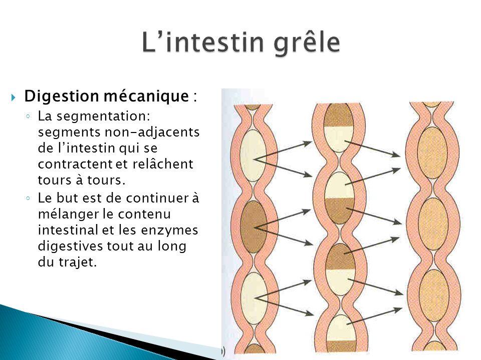  Digestion mécanique : ◦ La segmentation: segments non-adjacents de l'intestin qui se contractent et relâchent tours à tours.