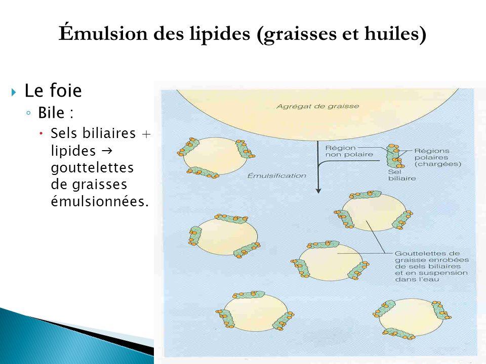  Le foie ◦ Bile :  Sels biliaires + lipides  gouttelettes de graisses émulsionnées.
