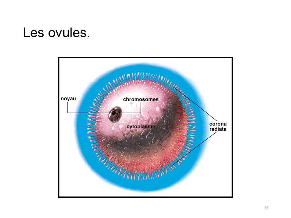 Les ovules. 19