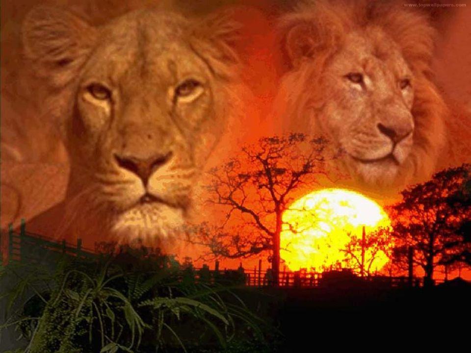 combat ratel contre lion