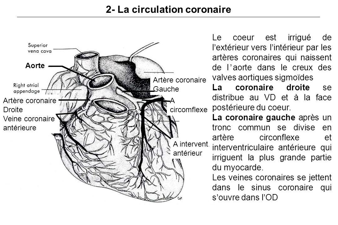 2- La circulation coronaire Artère coronaire Droite Veine coronaire antérieure Artère coronaire Gauche Aorte A circomflexe A intervent.