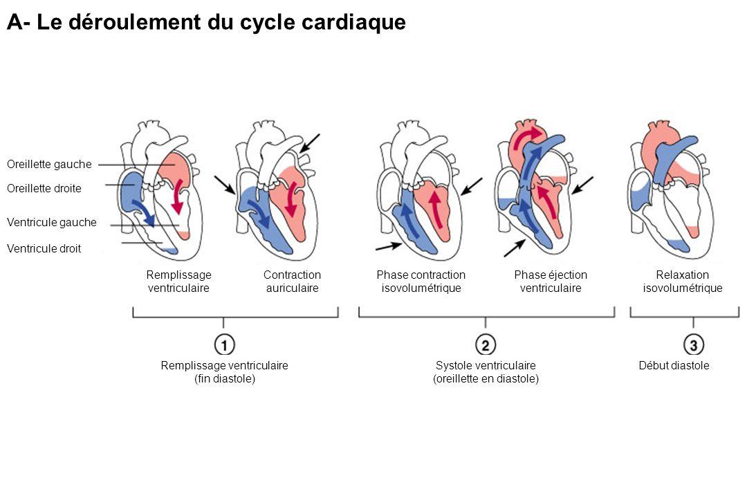 A- Le déroulement du cycle cardiaque Oreillette gauche Oreillette droite Ventricule gauche Ventricule droit Remplissage ventriculaire Contraction auriculaire Phase contraction isovolumétrique Phase éjection ventriculaire Relaxation isovolumétrique Remplissage ventriculaire (fin diastole) Systole ventriculaire (oreillette en diastole) Début diastole