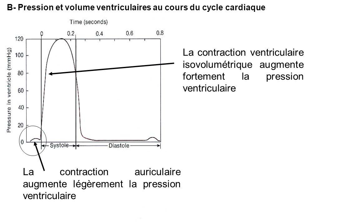 B- Pression et volume ventriculaires au cours du cycle cardiaque La contraction ventriculaire isovolumétrique augmente fortement la pression ventriculaire La contraction auriculaire augmente légèrement la pression ventriculaire