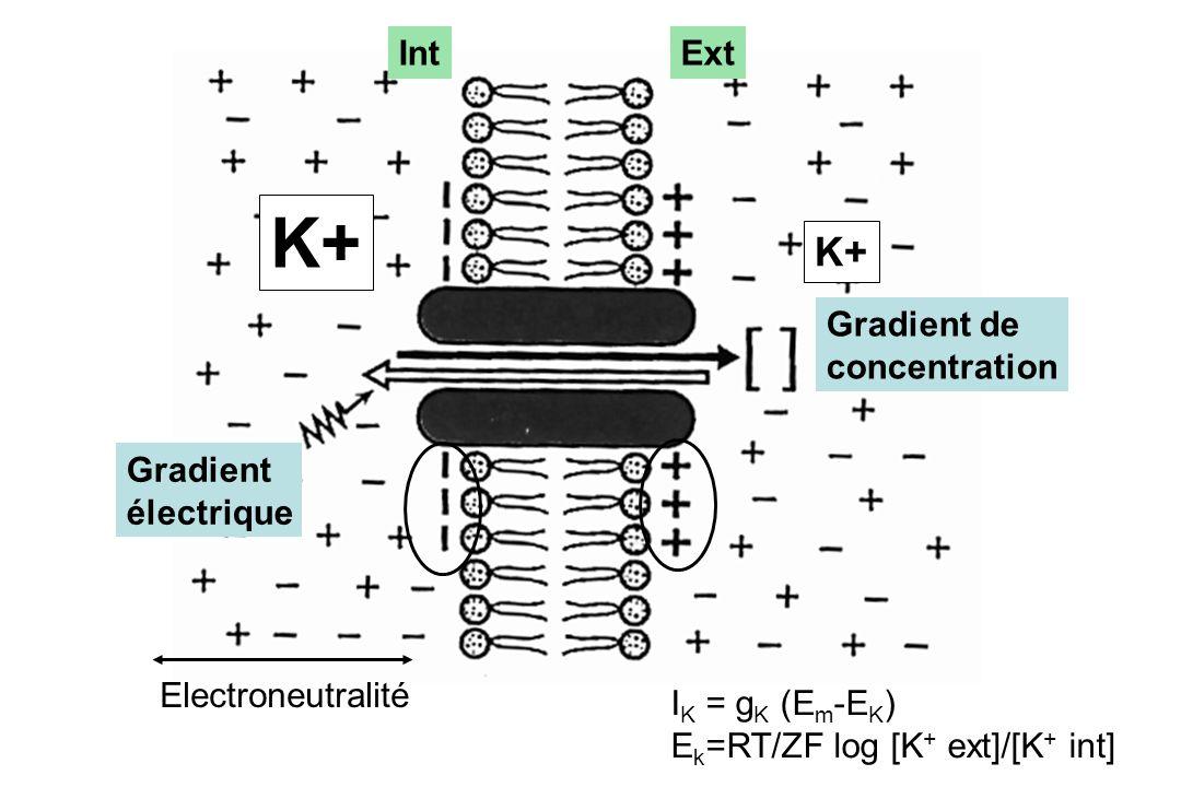 ExtInt Gradient de concentration Gradient électrique K+ Electroneutralité I K = g K (E m -E K ) E k =RT/ZF log [K + ext]/[K + int]