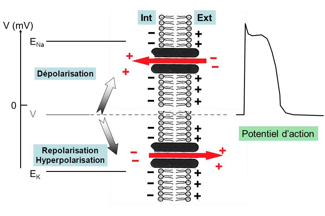 + + + + + + + + + + + + + + V (mV) 0 E Na V EKEK Dépolarisation Repolarisation Hyperpolarisation Potentiel d'action IntExt