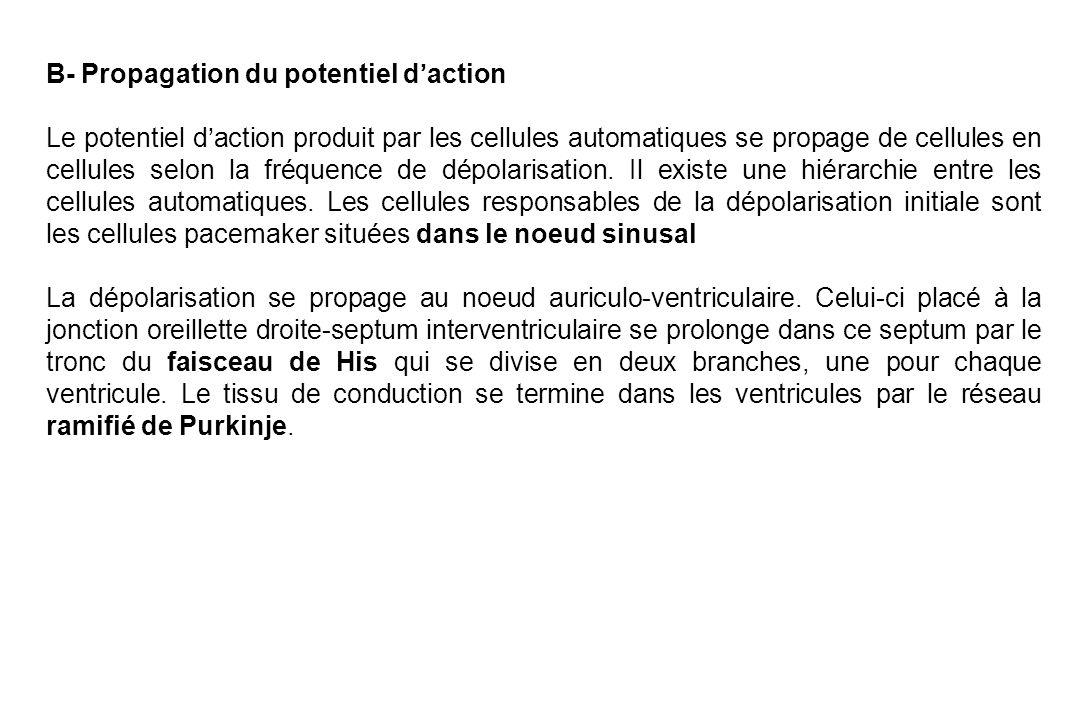 B- Propagation du potentiel d'action Le potentiel d'action produit par les cellules automatiques se propage de cellules en cellules selon la fréquence de dépolarisation.
