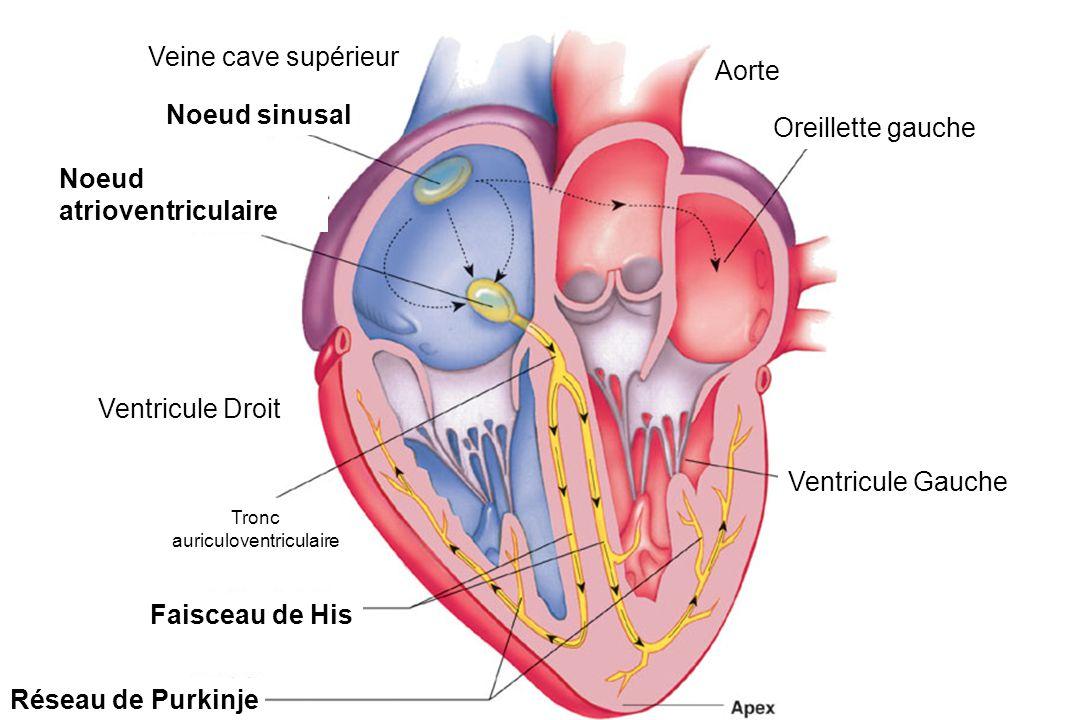 Veine cave supérieur Noeud sinusal Noeud atrioventriculaire Ventricule Droit Réseau de Purkinje Faisceau de His Ventricule Gauche Aorte Oreillette gauche Tronc auriculoventriculaire