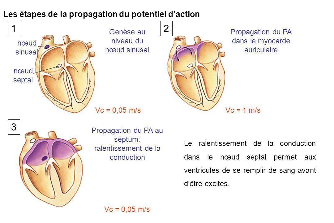 Genèse au niveau du nœud sinusal Vc = 0,05 m/s nœud sinusal nœud septal Propagation du PA dans le myocarde auriculaire Vc = 1 m/s Propagation du PA au septum: ralentissement de la conduction Vc = 0,05 m/s Le ralentissement de la conduction dans le nœud septal permet aux ventricules de se remplir de sang avant d'être excités.