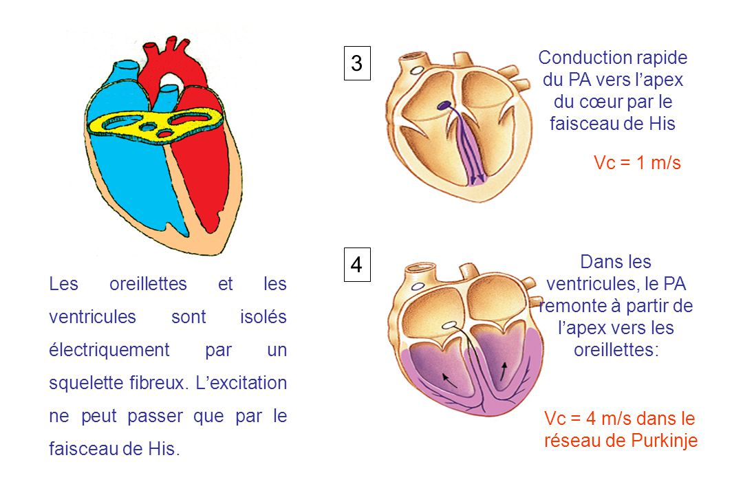 Les oreillettes et les ventricules sont isolés électriquement par un squelette fibreux.