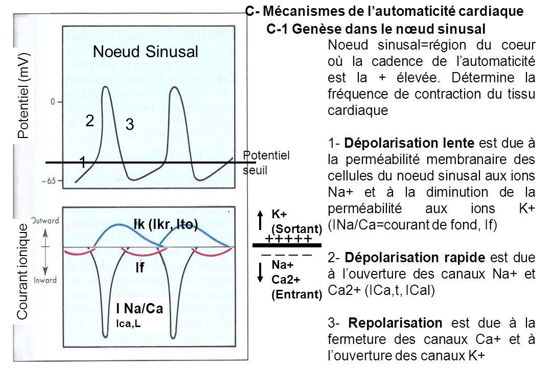 Noeud sinusal=région du coeur où la cadence de l'automaticité est la + élevée.
