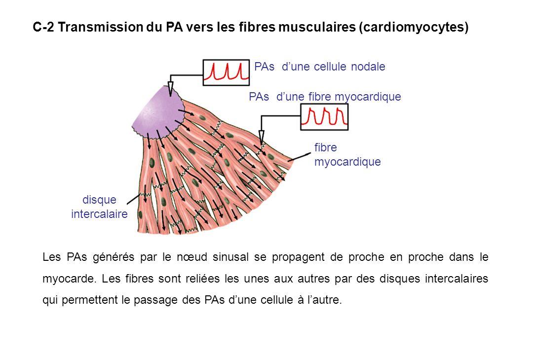 PAs d'une cellule nodale PAs d'une fibre myocardique fibre myocardique disque intercalaire Les PAs générés par le nœud sinusal se propagent de proche en proche dans le myocarde.