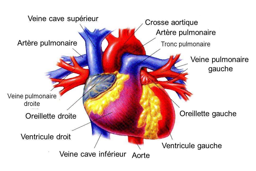 Crosse aortique Artère pulmonaire Veine pulmonaire gauche Ventricule gauche Oreillette droite Ventricule droit Tronc pulmonaire Oreillette gauche Aorte Veine cave inférieur Veine cave supérieur Artère pulmonaire Veine pulmonaire droite