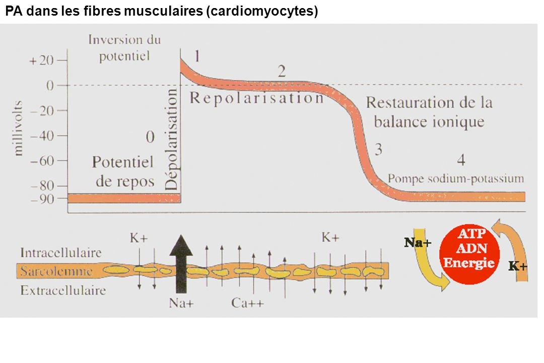 PA dans les fibres musculaires (cardiomyocytes)